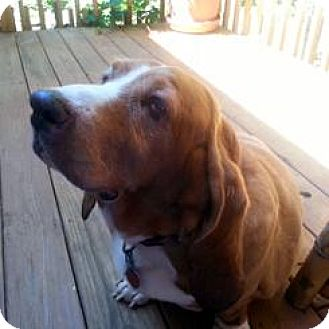Basset Hound Dog for adoption in Pennsville, New Jersey - TIARA