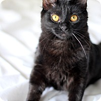 Domestic Longhair Cat for adoption in College Station, Texas - Dahlia (super kid friendly)