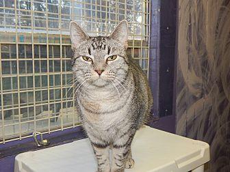 Bengal Cat for adoption in Holden, Missouri - Queen of the Cruel