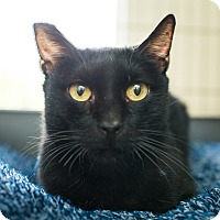 Domestic Shorthair Cat for adoption in Los Angeles, California - Nyx