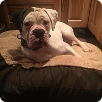 Adopt A Pet :: Apollo - Lincoln, NE