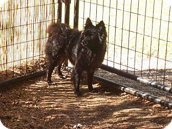 Pomeranian/Schipperke Mix Dog for adoption in Hesperus, Colorado - KAI