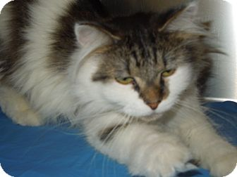 Domestic Mediumhair Cat for adoption in Medina, Ohio - Hermione