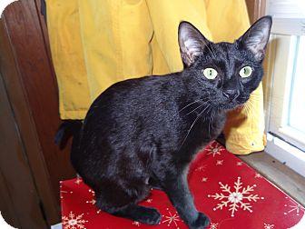 Domestic Shorthair Kitten for adoption in Riverhead, New York - Bagheera