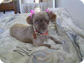 Shih Tzu Dog for adoption in Sheridan, Oregon - Thalia