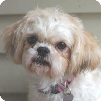 Maltese/Shih Tzu Mix Dog for adoption in Atlanta, Georgia - Bonnie