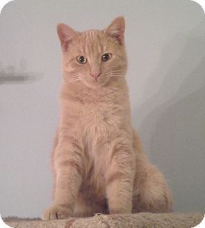 Domestic Shorthair Cat for adoption in Sterling Heights, Michigan - Edison