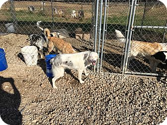 Australian Shepherd Dog for adoption in Parker, Kansas - Bonzo