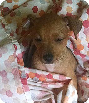 Chihuahua Mix Puppy for adoption in Savannah, Georgia - Ebi