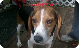 Beagle Dog for adoption in Ventnor City, New Jersey - HUMPHREY