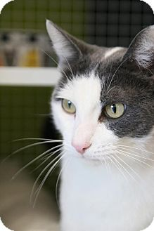 Domestic Shorthair Cat for adoption in Los Angeles, California - Don Juan