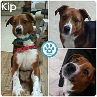 Adopt A Pet :: Kip - Kimberton, PA