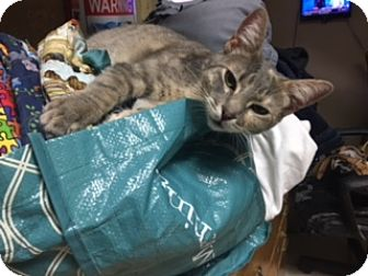 Calico Cat for adoption in Kennedale, Texas - June Bug