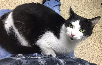 Domestic Shorthair Cat for adoption in West Hartford, Connecticut - Tisha Marie