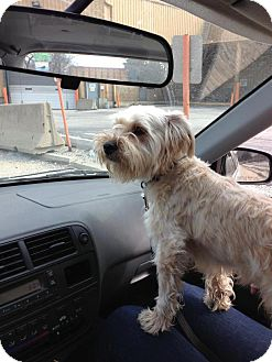 Schnauzer (Miniature)/Yorkie, Yorkshire Terrier Mix Dog for adoption in Chicago, Illinois - LINUS