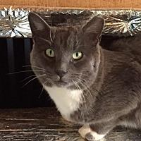 Domestic Mediumhair Cat for adoption in Carlisle, Pennsylvania - SmokeyCP