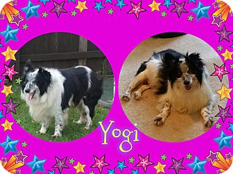 Sheltie, Shetland Sheepdog Dog for adoption in Houston, Texas - Yogi