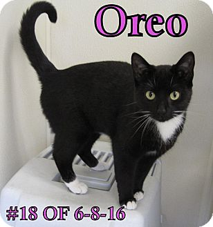 Domestic Shorthair Cat for adoption in Gaylord, Michigan - Oreo