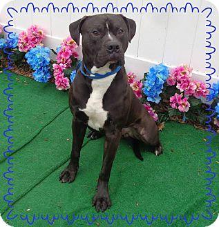 Boxer Mix Dog for adoption in Marietta, Georgia - CHUCHO