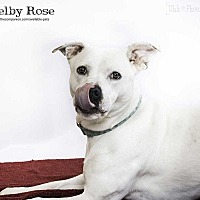Adopt A Pet :: Shelby (Rosie) - Lakewood, CO