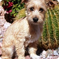Adopt A Pet :: Butters - Gilbert, AZ