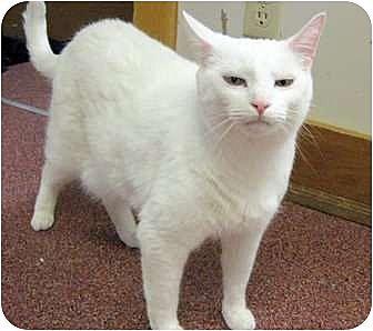 Domestic Shorthair Cat for adoption in Saranac Lake, New York - Joey