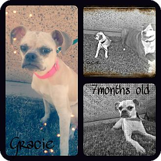 Boston Terrier/Chihuahua Mix Puppy for adoption in Phoenix, Arizona - Gracie