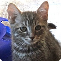 Adopt A Pet :: Gable - Escondido, CA
