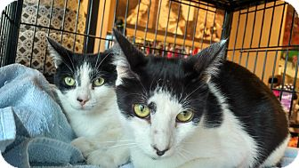 Domestic Shorthair Cat for adoption in Exton, Pennsylvania - Tom (Foster)