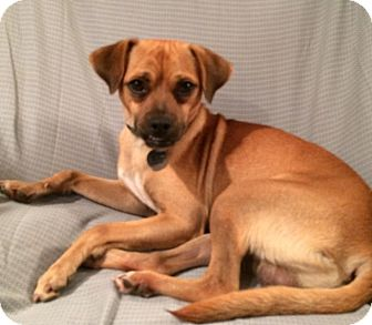 Pug/Terrier (Unknown Type, Small) Mix Dog for adoption in Huntsville, Alabama - Baxter