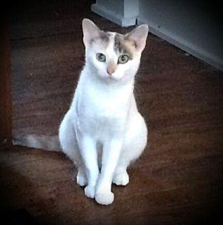Domestic Shorthair Cat for adoption in Fairborn, Ohio - Kora