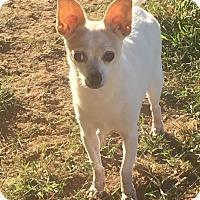 Chihuahua Mix Dog for adoption in Essington, Pennsylvania - Chloe Marie