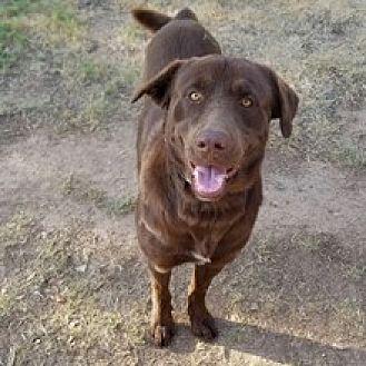 Labrador Retriever Mix Dog for adoption in Phoenix, Arizona - Tucker