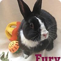 Adopt A Pet :: Fury - Paramount, CA