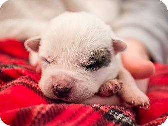 Blue Heeler Mix Puppy for adoption in Dallas, Texas - Elie