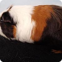 Adopt A Pet :: Hawk - Aurora, CO