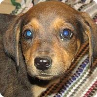 Adopt A Pet :: Serfina - Rocky Mount, NC