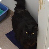 Domestic Longhair Cat for adoption in Fryeburg, Maine - Hank