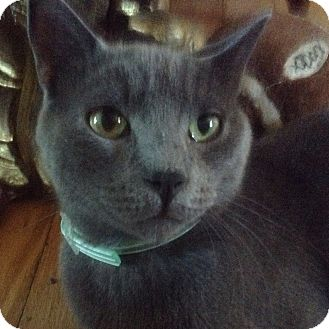 Domestic Shorthair Cat for adoption in Cumbeland, Maryland - Archimedes