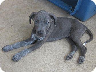 Labrador Retriever/Shepherd (Unknown Type) Mix Puppy for adoption in Arlington, Texas - Gentry