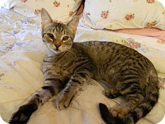 Domestic Shorthair Cat for adoption in The Colony, Texas - Cosette
