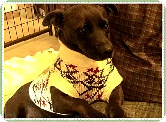 Dachshund/Jack Russell Terrier Mix Dog for adoption in Hartsville, Tennessee - Thelma