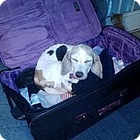 Adopt A Pet :: Alice - Portland, OR