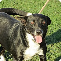 Border Collie Mix Dog for adoption in Allentown, Pennsylvania - Danielle