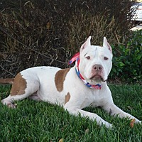 American Pit Bull Terrier/American Staffordshire Terrier Mix Dog for adoption in Los Angeles, California - Handsome Watson-VIDEO
