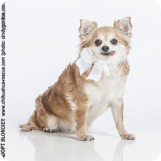 Chihuahua Mix Dog for adoption in Dallas, Texas - Blondie