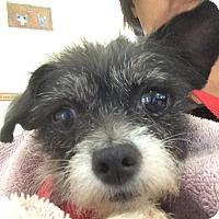 Adopt A Pet :: Itty Bitty - Scottsdale, AZ