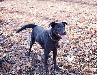 Labrador Retriever Mix Dog for adoption in Lewisville, Indiana - Jesse