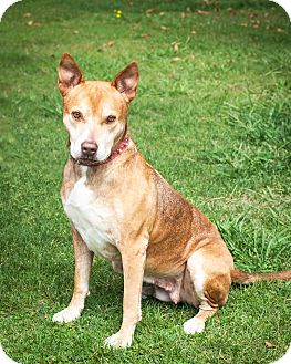 Cattle Dog Mix Dog for adoption in St Helena, California - Betty White