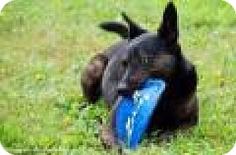 Shepherd (Unknown Type)/Doberman Pinscher Mix Dog for adoption in Columbia, Tennessee - Kelcey